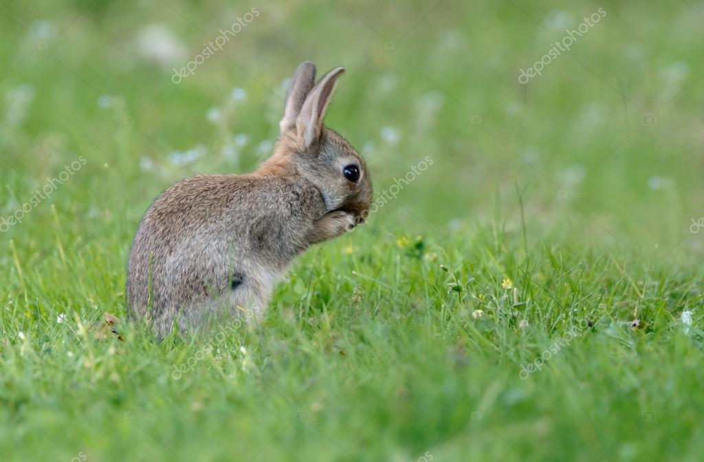 young juvenile rabbit