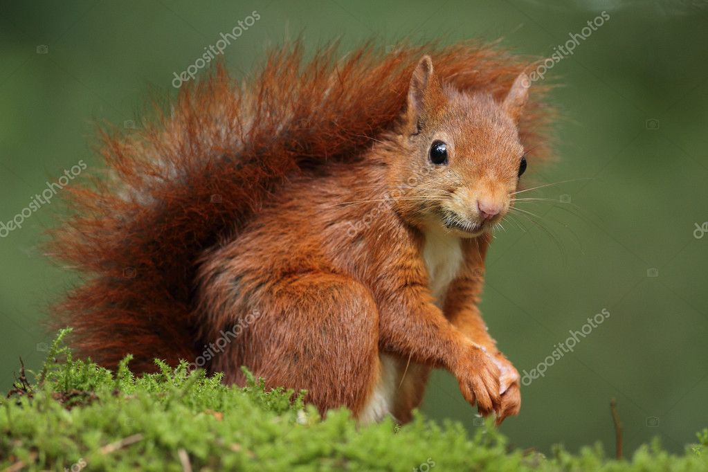 Red Squirrel animal