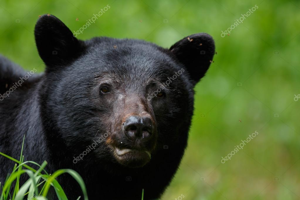 Black bear on nature