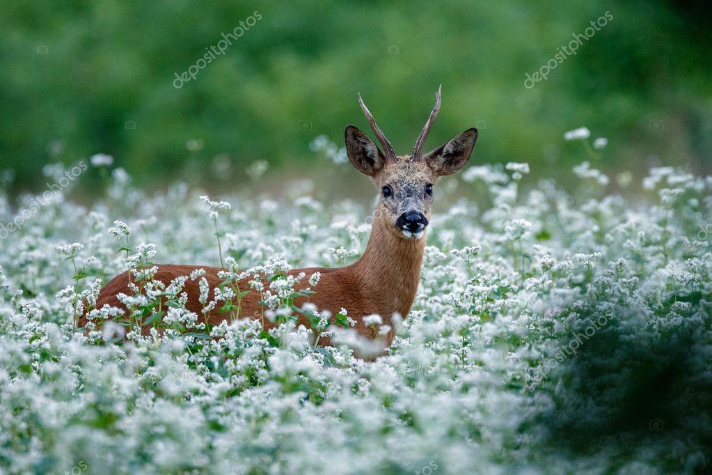 Roe deer in a field