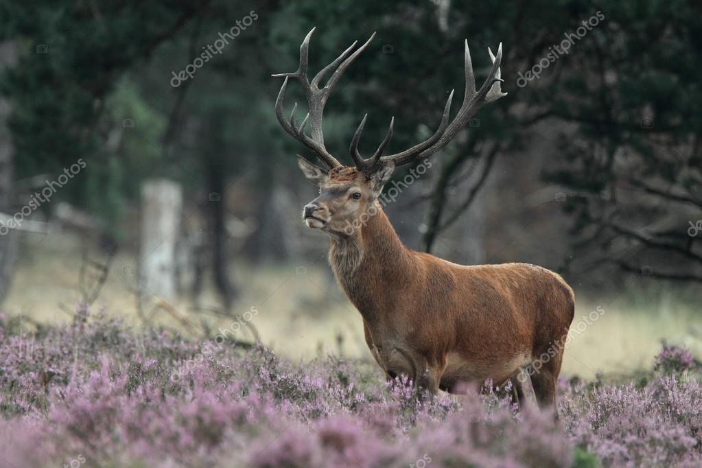 Red deer animal