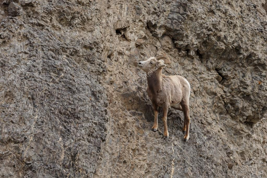 Bighorn sheep  on a cliff
