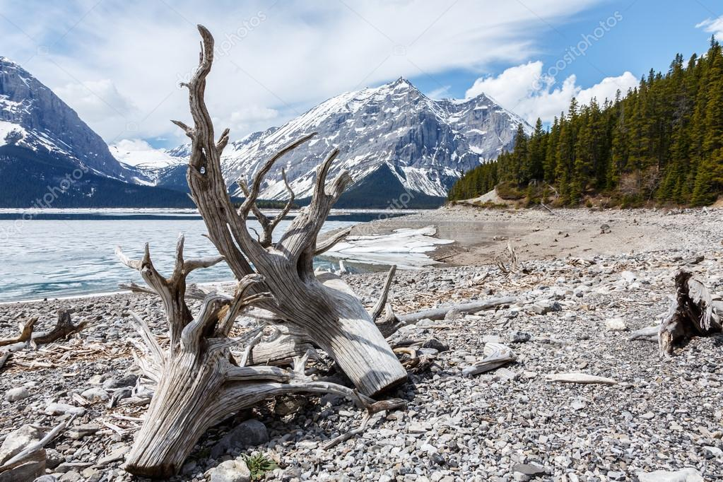 Drift Wood at Jasper lake