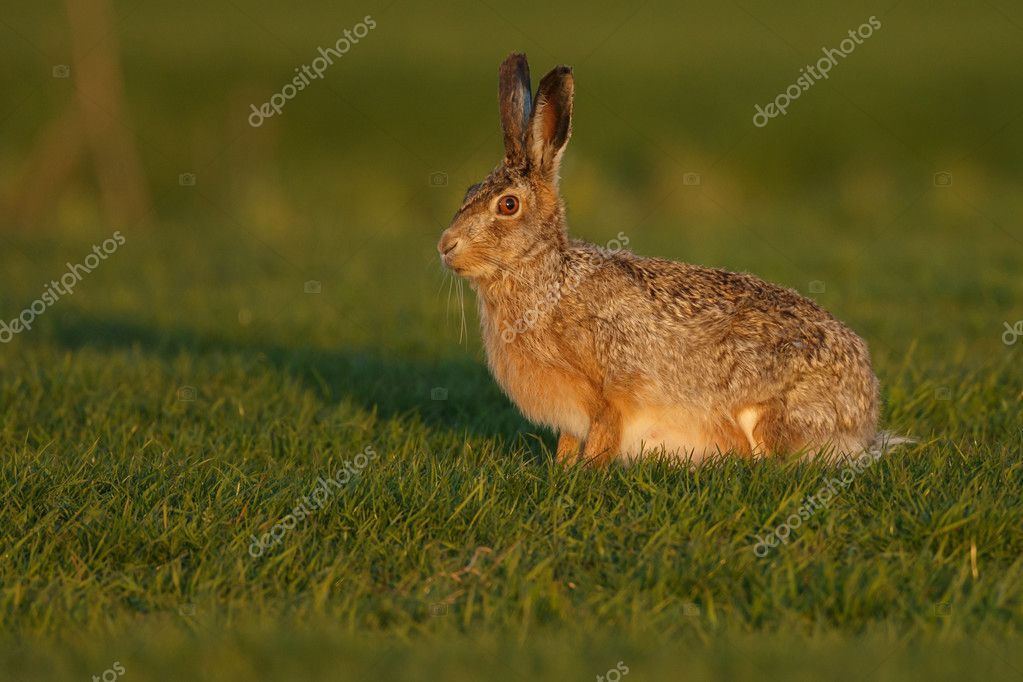 Hare in late sunlight