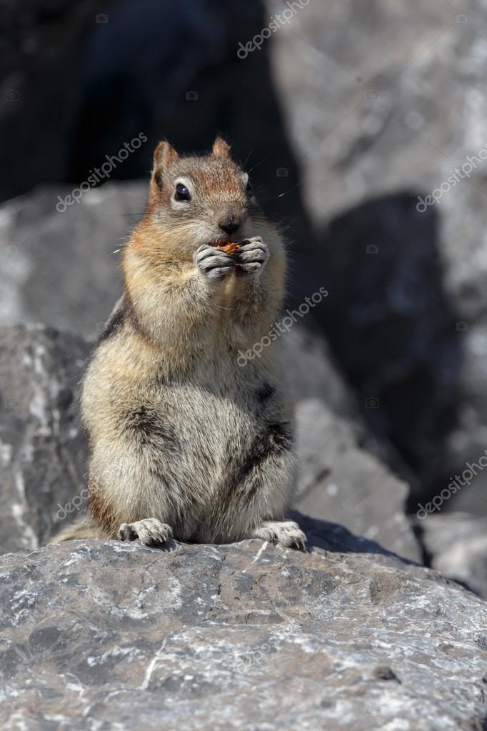 Ground squirrel in Canada