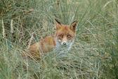 Fotografie Red Fox in der Natur
