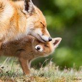 Red fox matka a mládě
