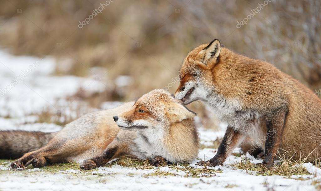 Red foxes cuddling in the snow