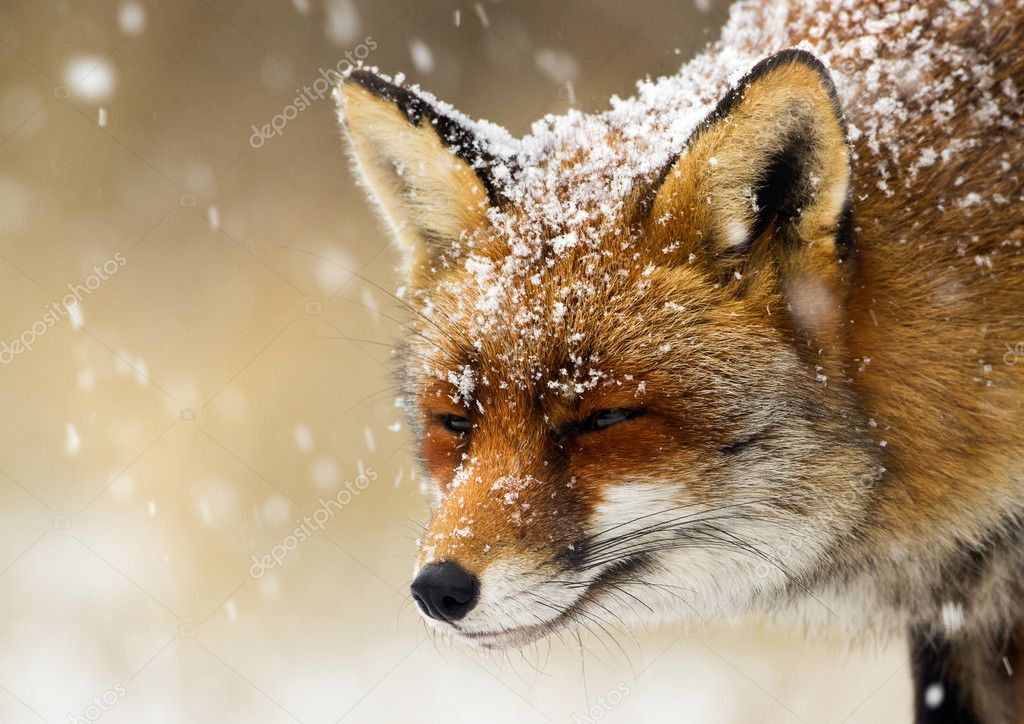 Red Fox in a winter