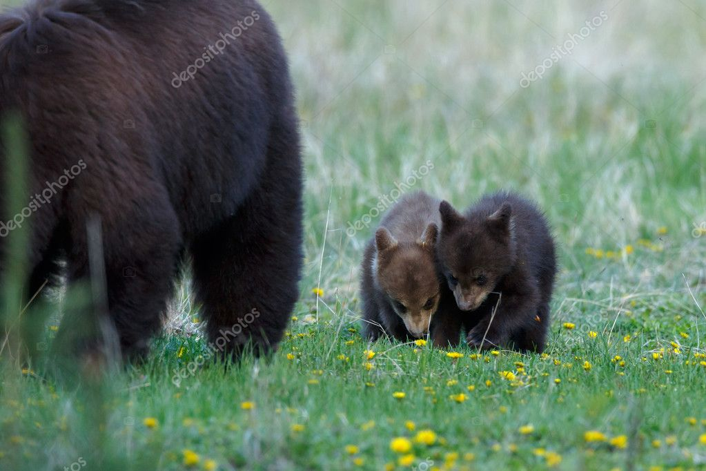 Mother  bear and her two cubs