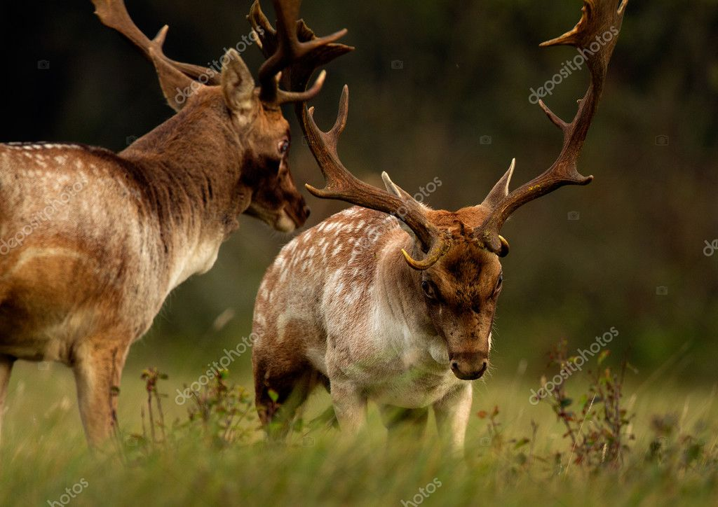 Fallow deer in rutting season