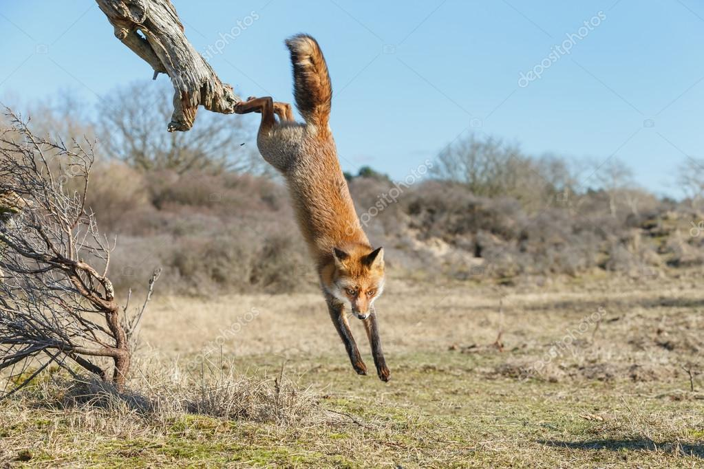 Red fox  on  dead tree