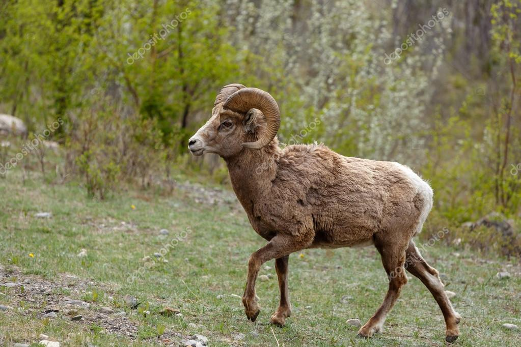Bighorn sheep walking