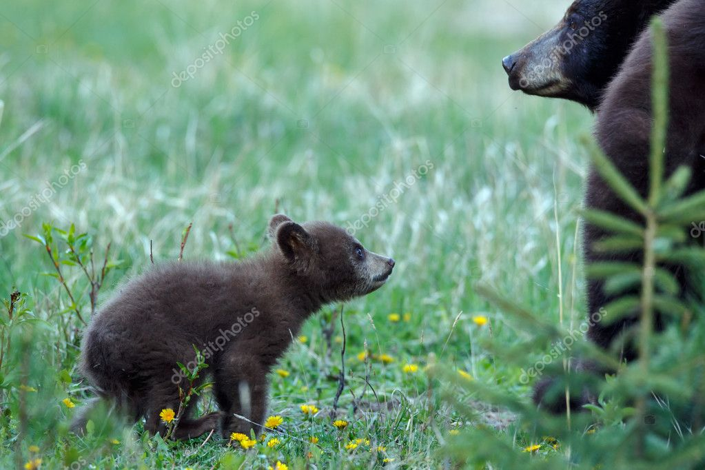 bear cub looks up to mother
