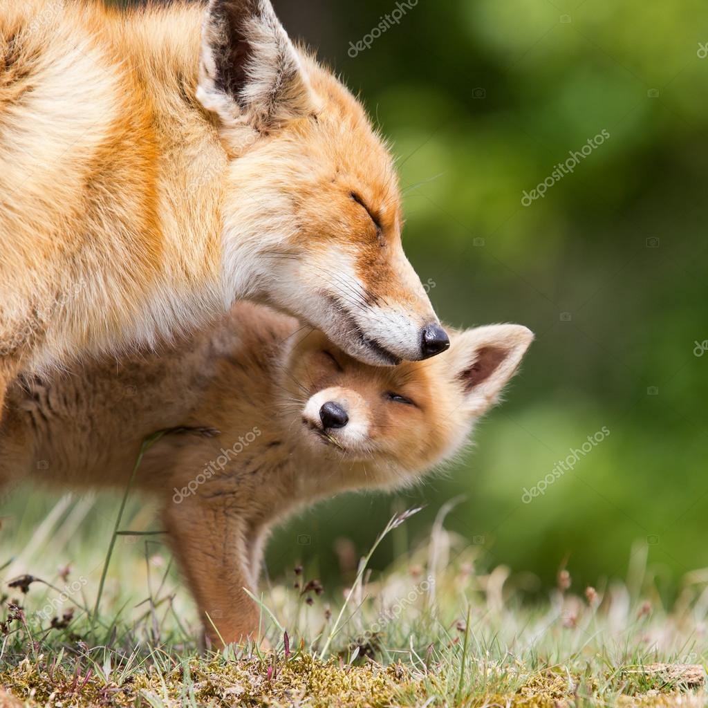 Red fox mother and cub
