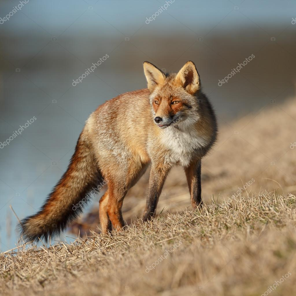 Red fox  on the grass