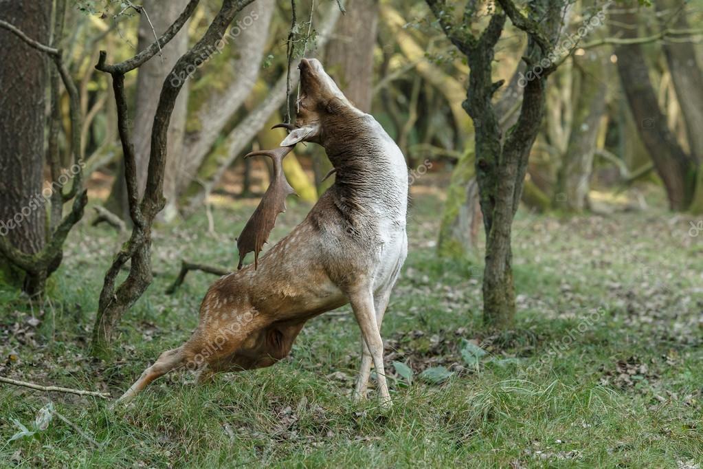 Red deer in hunting season