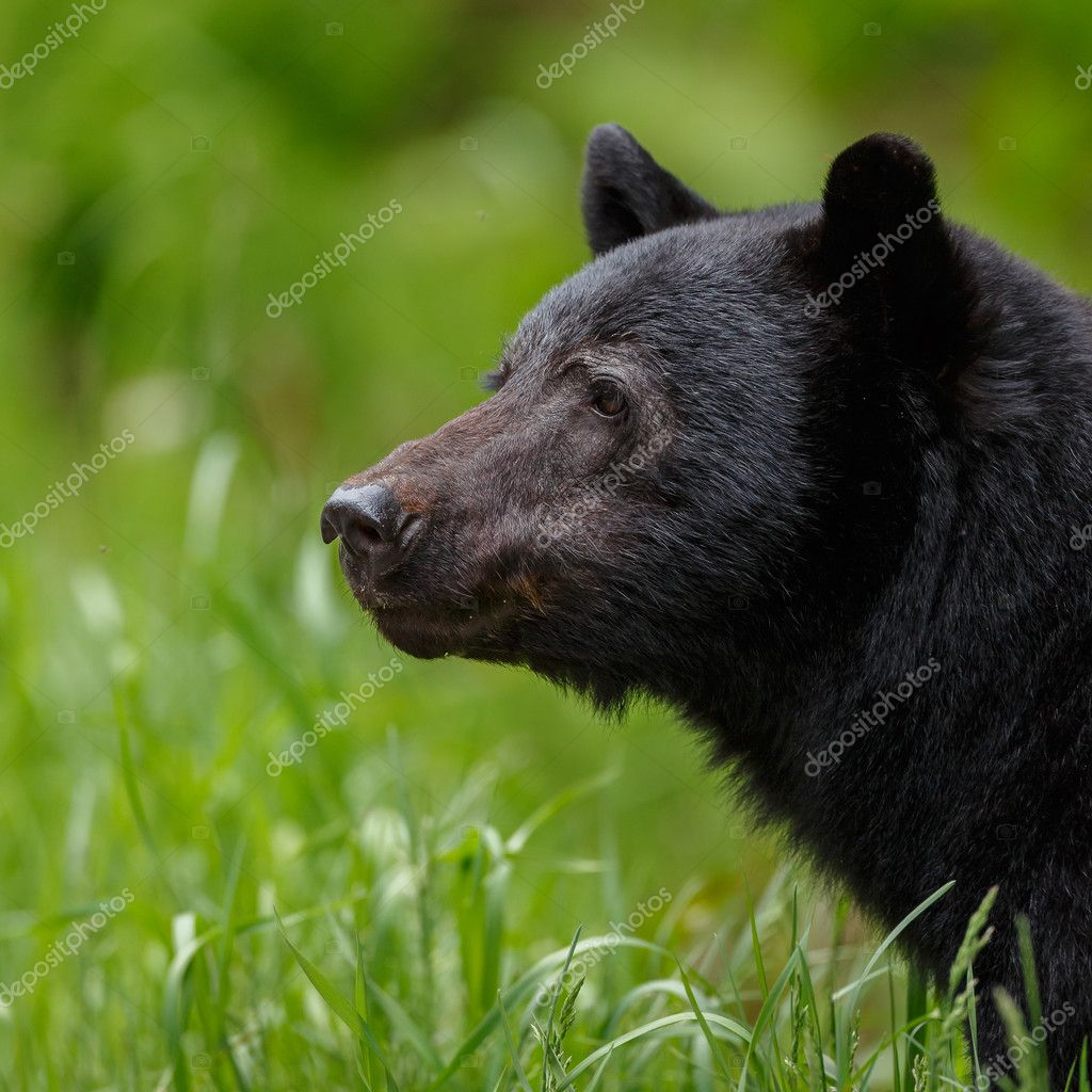 Black bear crossing the road
