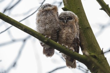 Tawny owls youngsters