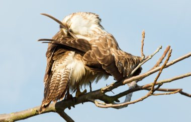 Marsh Harrier  bird