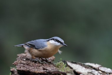 Nuthatch bird on nature.