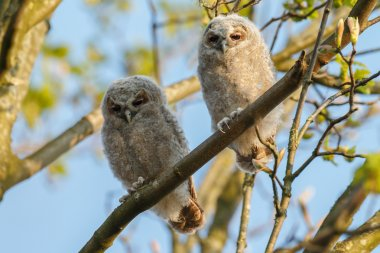 The tawny owls or brown owls