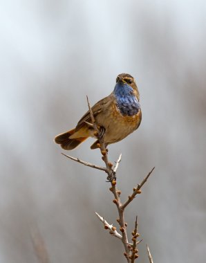 Bluethroat bird on nature