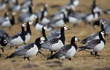 Group off Barnacle geese