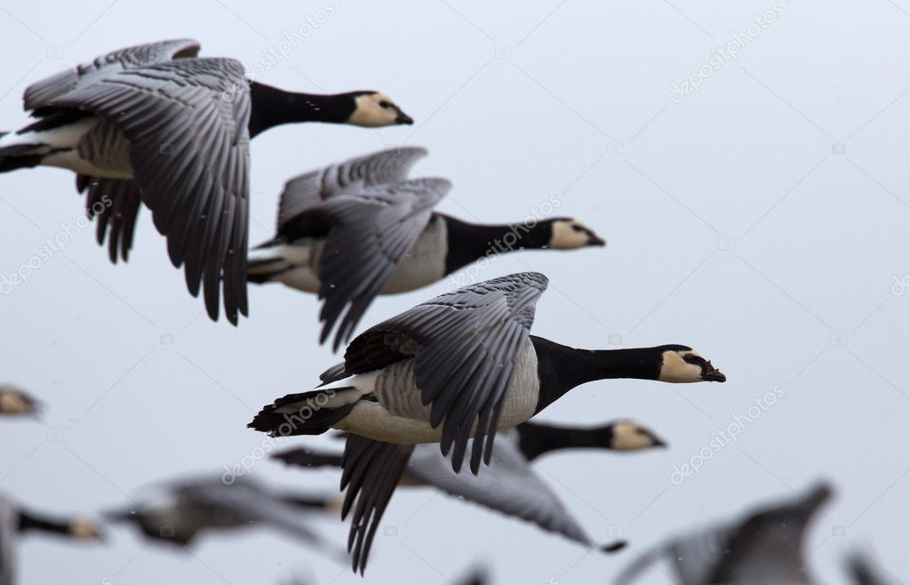 brant or brent geese