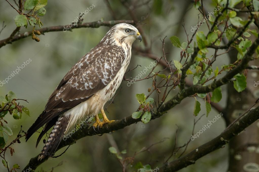Buzzard on a dead tree