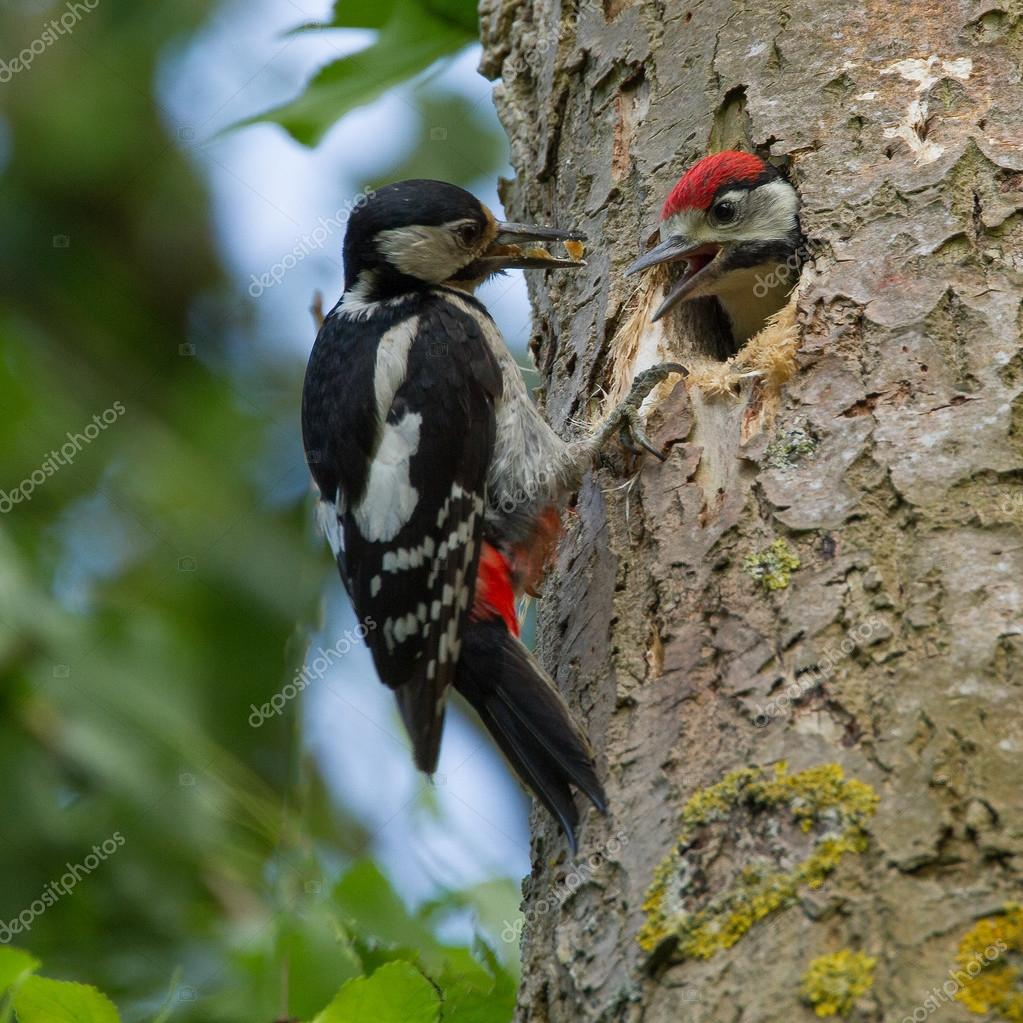 woodpecker feeding his chicken