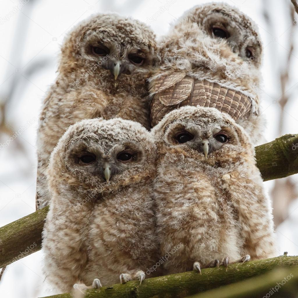 Tawny owl youngsters