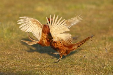 Pheasant males are fighting