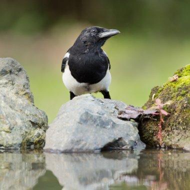 Magpie bird on nature