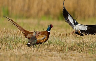 Pheasant is attacked by a lapwing
