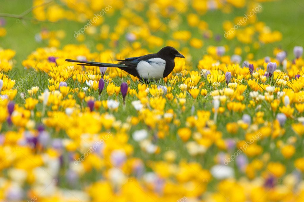 Magpie bird on flowers background