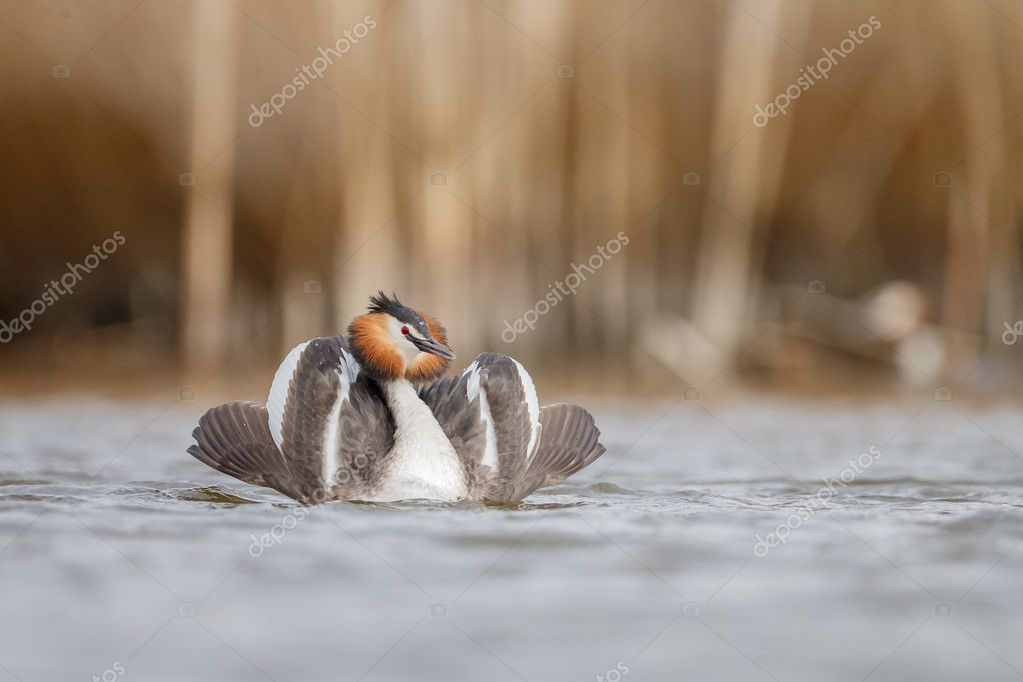 Great Crested Grebe, waterbird