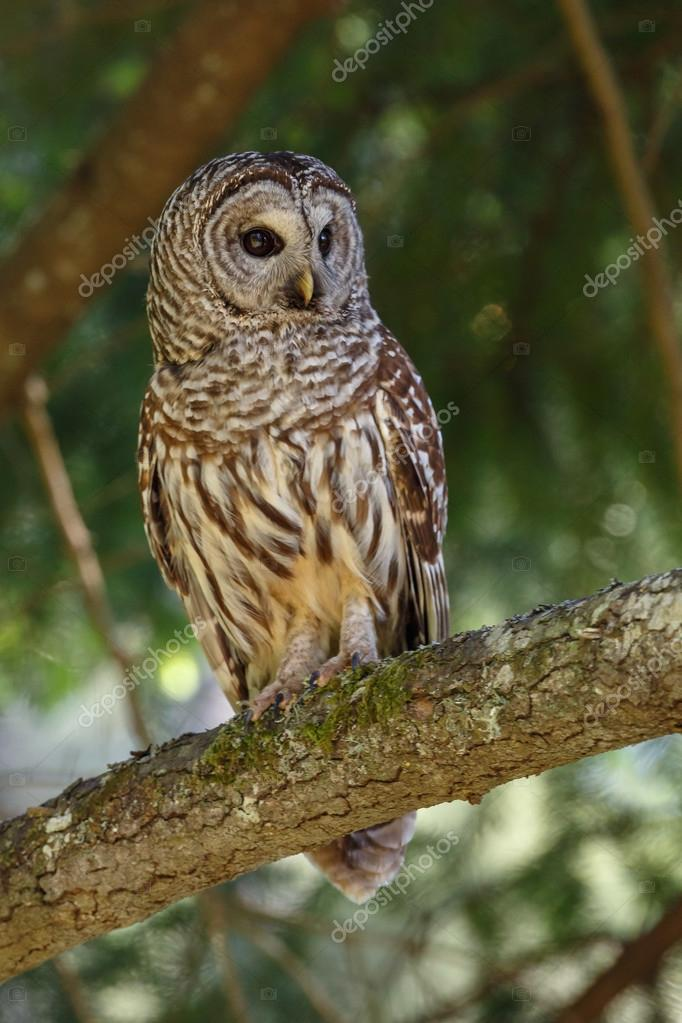 Barred owl on green tree