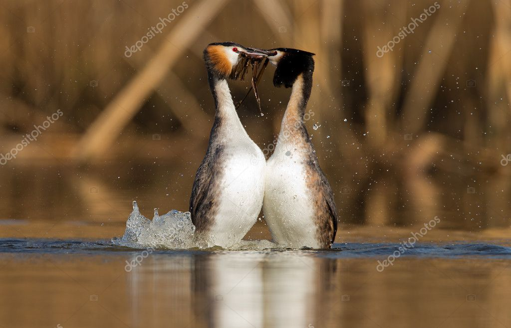 Great Crested Grebe, waterbirds