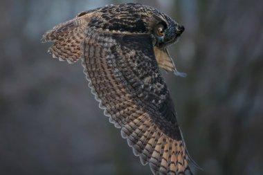 The Eurasian eagle-owl in flight