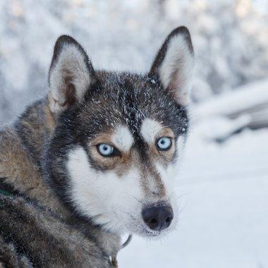 Husky portrait in Finland