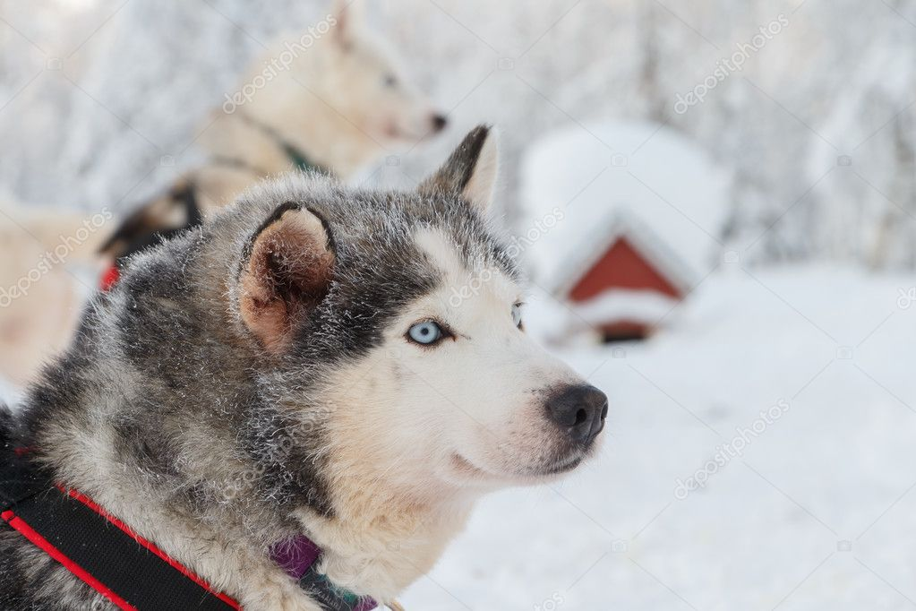 Husky portrait in Finland