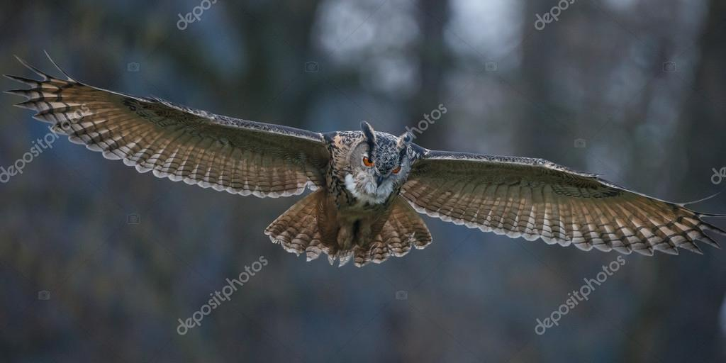 The Eurasian eagle-owl in flight