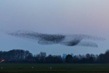 he Murmurations of Starlings on sunset