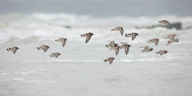 Ruddy Turnstones  in flight over sea