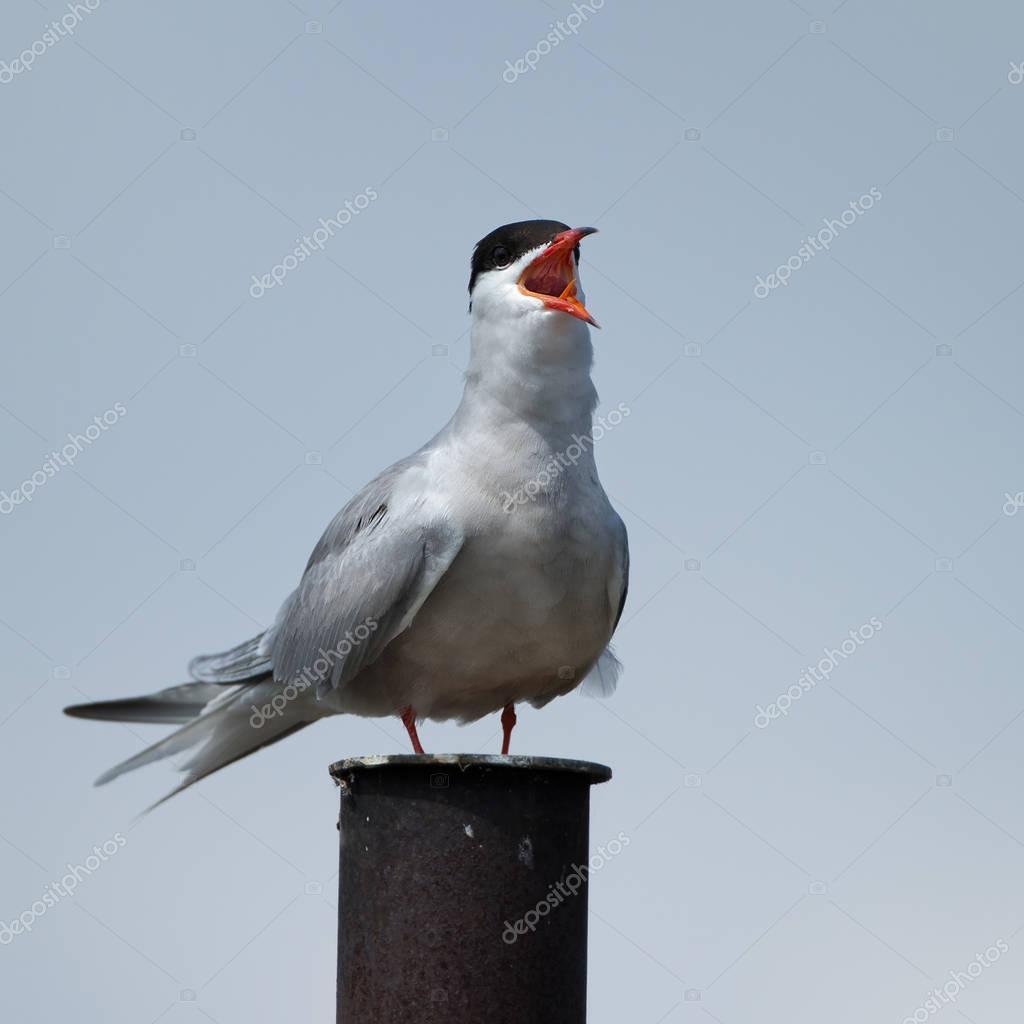 Oiseau sterne arctique photo 129038268 for Photo oiseau