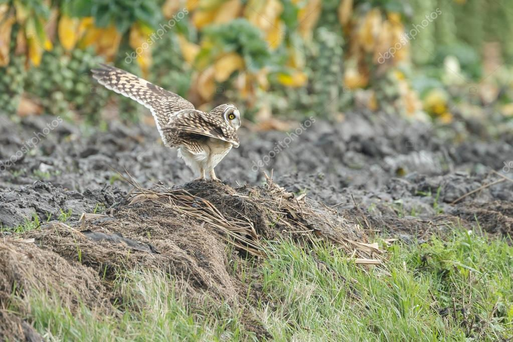 Short Eared Owl shaking feathers