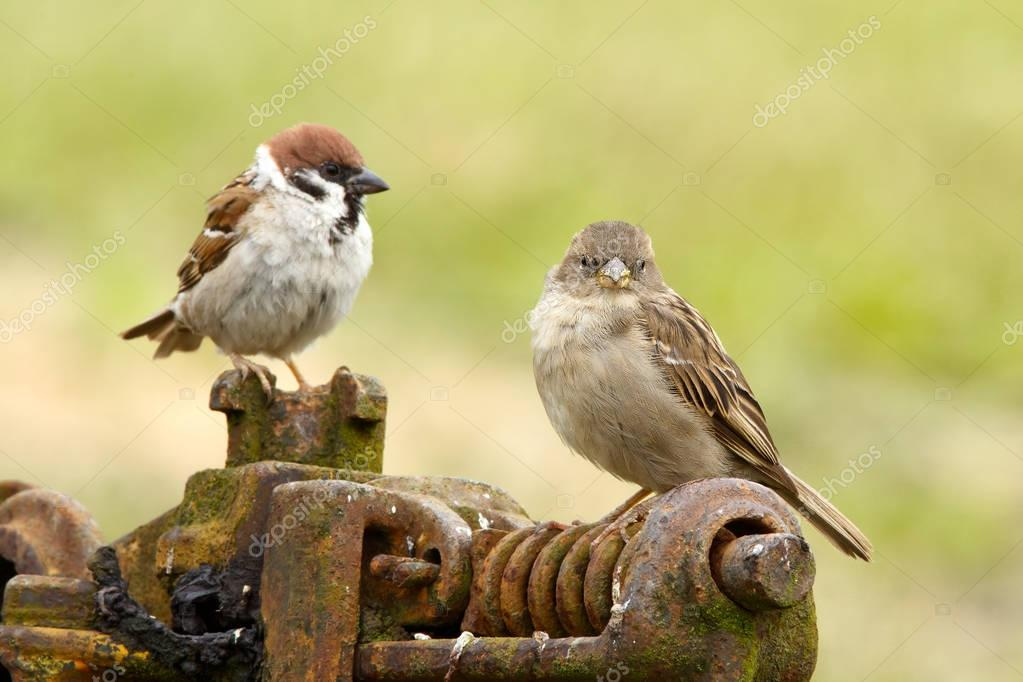 Tree sparrows male and female