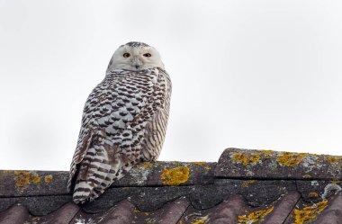 Snowy Owl Bubo scandiacus