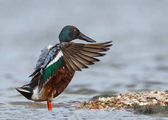 Fotografie The wood duck or Carolina duck